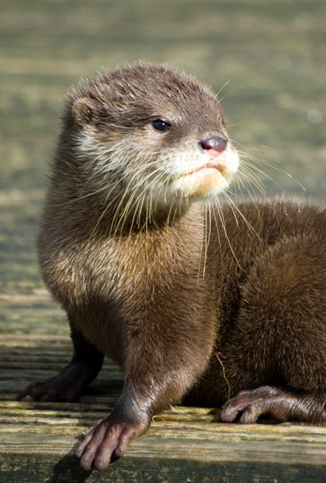 Otter-from-blackpool-3