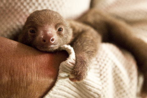 Meet Ruth the Tiny Baby Sloth - ZooBorns