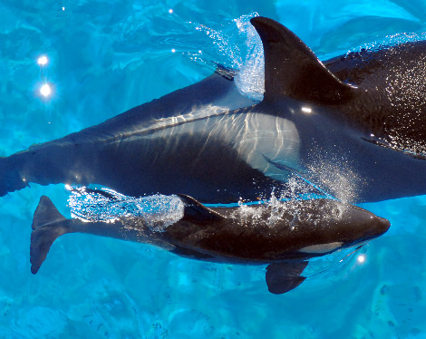 Katina, bottom, and her new calf swim at Shamu Stadium.  The calf was born on oct 9_D