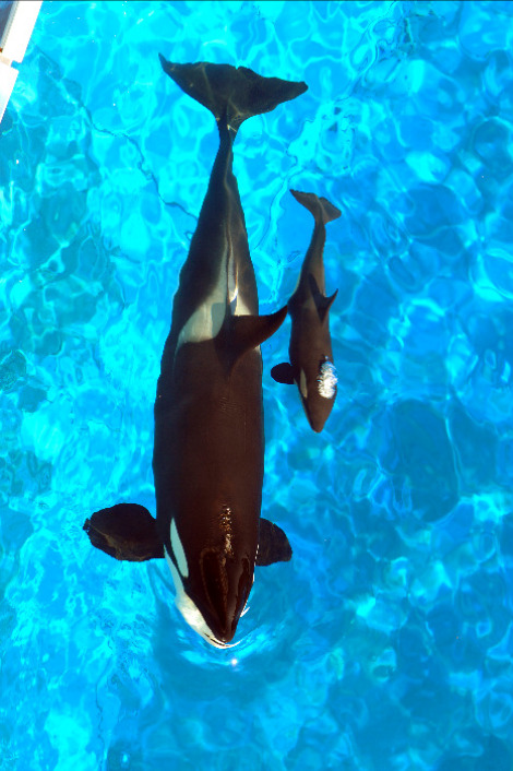 Katina, left, and her new calf swim at Shamu Stadium