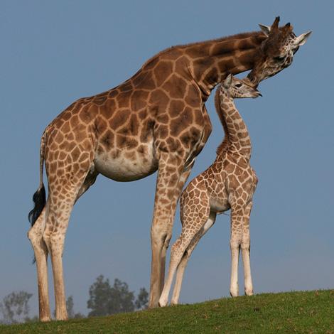 San-Digo-Zoo-Giraffe-Calf