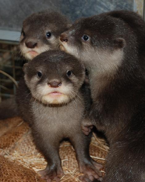 Otter-pups-3---8-weeks----Sheri-Horiszny