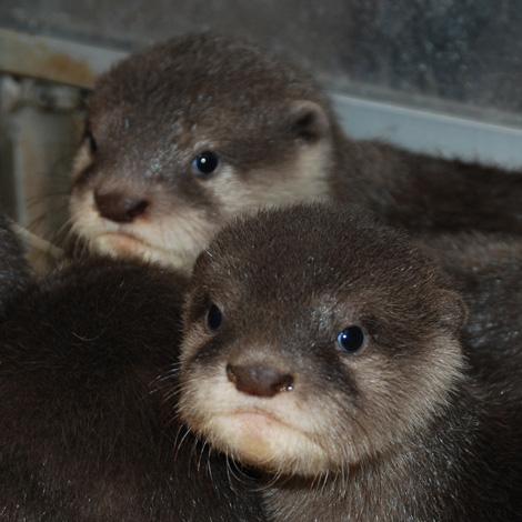 Otter-pups-2---8-weeks---Sheri-Horiszny
