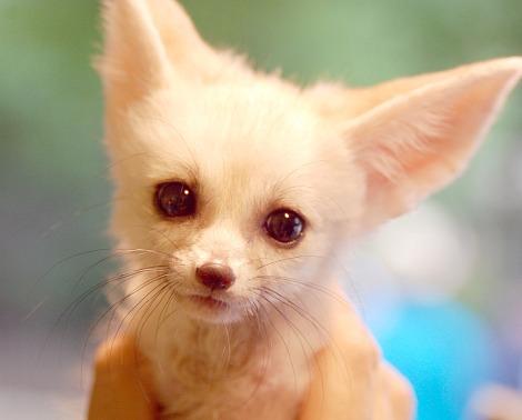 Baby fennec fox pup everland zoo 1