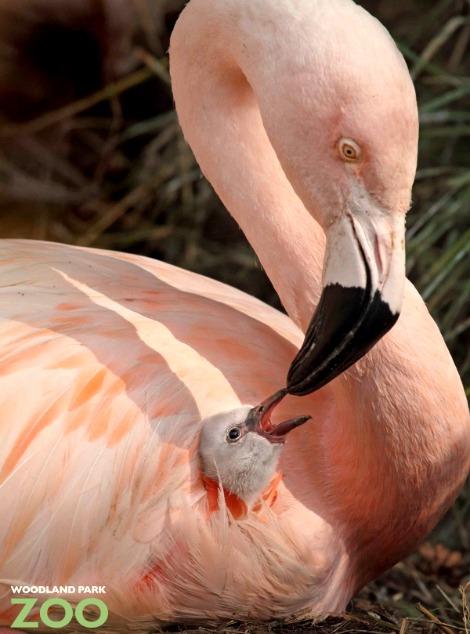 Chilean flamingo chick woodland park zoo 1