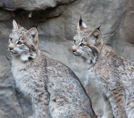 Minnesota-lynx-3