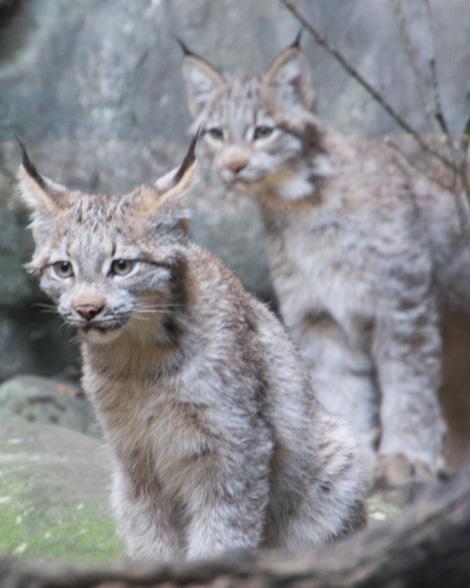 Canadian Lynx Kitten. Canada Lynx Kittens Debut at
