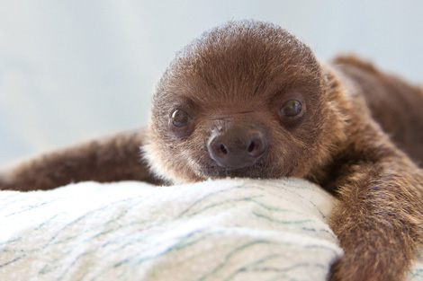 Baby-Sloth-at-Loro-Parque-2