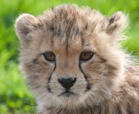 Cheetah cub zsl whipsnade zoo 1