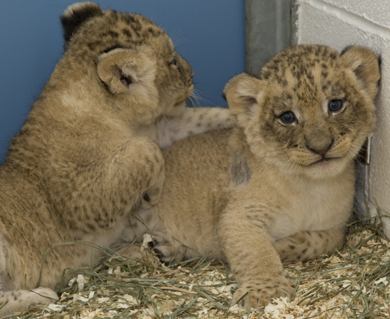 Smithsonian zoo lions 5