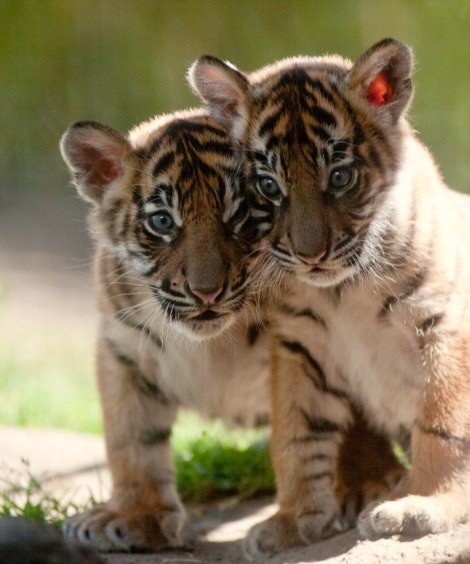 Tiger Cubs at Point Defiance Zoo 1rs