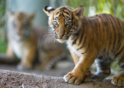 Tiger Cubs at Point Defiance Zoo 2b