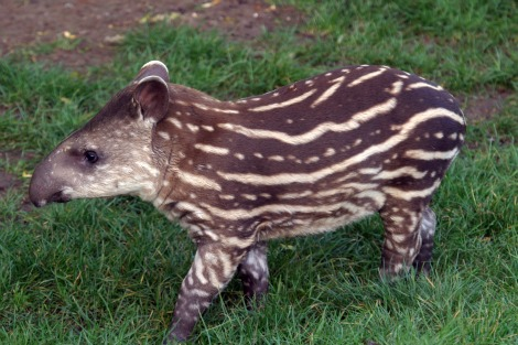 Quito the Baby Brazilian Tapir Calf at Marwell Zoo 1