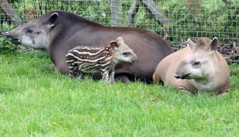 Quito the Baby Brazilian Tapir Calf at Marwell Zoo 1