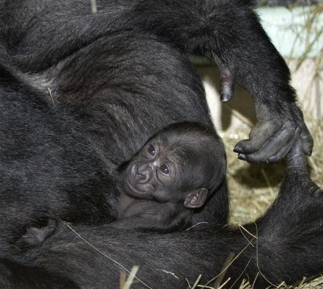 Baby gorilla columbus zoo 1