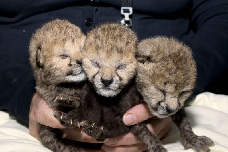 Wilds Cheetah Cubs 20 - G. Jones, Columbus Zoo and Aquarium