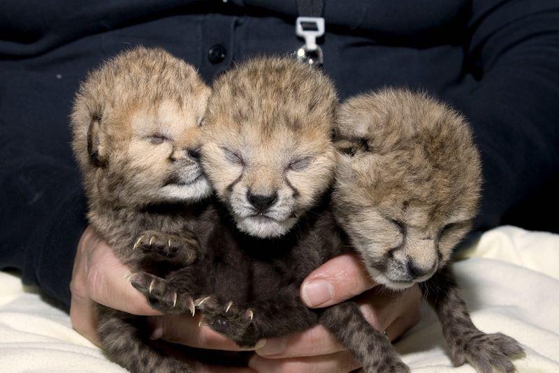 Wilds Cheetah Cubs 20 - G. Jones, Columbus Zoo and Aquarium