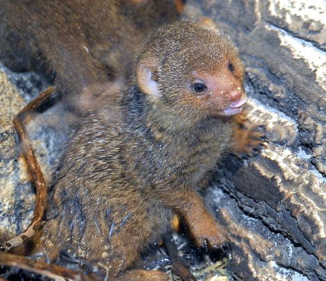 Banded Mongoose Pups at the Central Park Zoo 2
