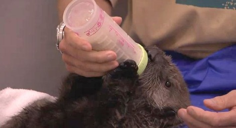 Tazo the orphan otter bottle feeds at new york aquarium