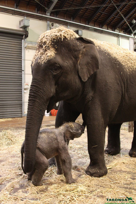 Elephant-calf-taronga-zoo-4