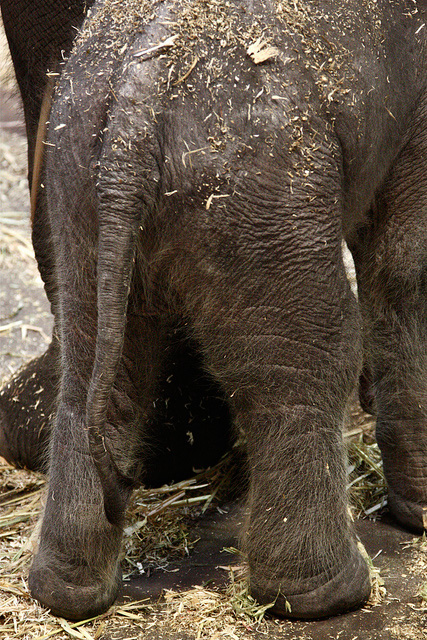 Elephant-calf-taronga-zoo-5