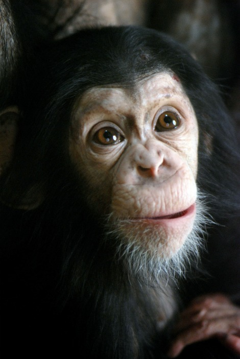 Baby chimpanzee at the everland zoo 1