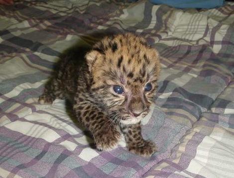 Amur Leopard Cub Jacksonville Zoo 1