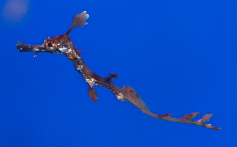 Weedy-sea-dragon-1