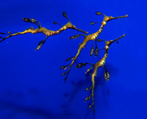 Weedy-sea-dragon-5