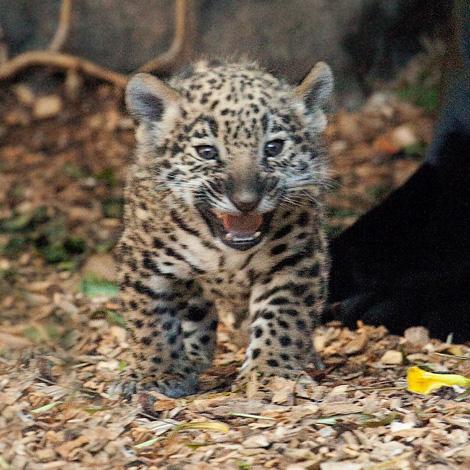 Baby-Jaguars-at-Loro-Parque-3a