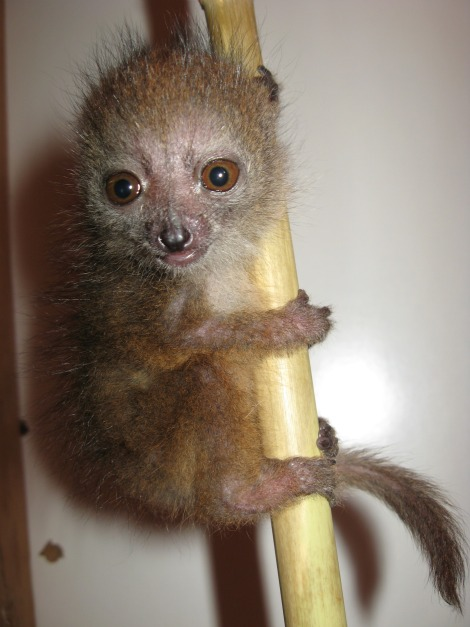 Hamish the baby bamboo lemur chewing on bamaboo