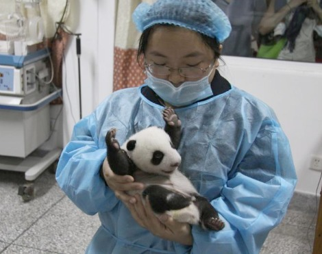 Panda cub chengdu - arms up!