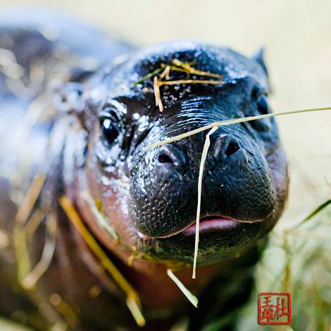 Miami-Zoo-Hippo1