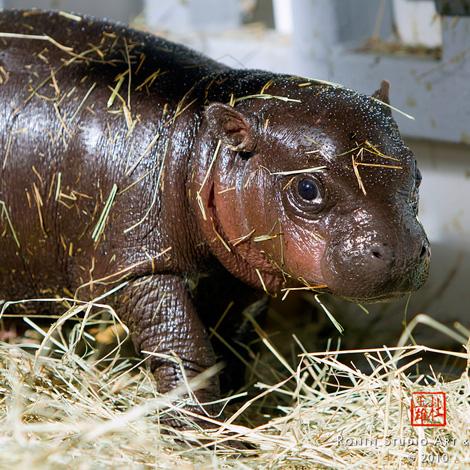 Miami-Zoo-Hippo3