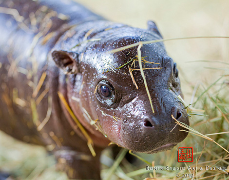 Miami-Zoo-Hippo2