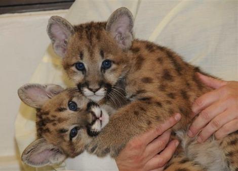 Cougar cub cincinnati zoo 1a