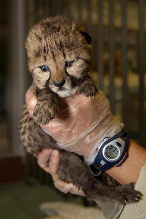CheetahCub_002_Web