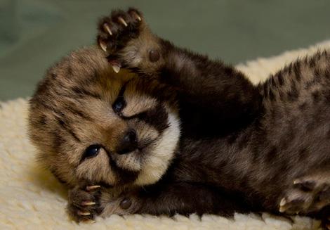 Kiburi cheetah cub