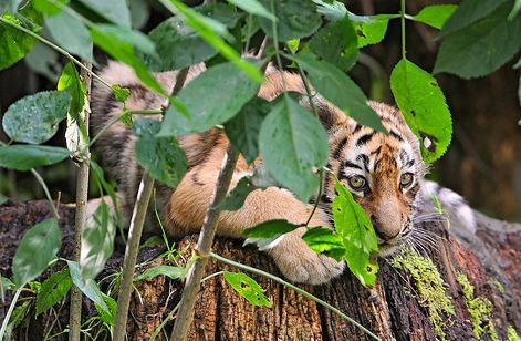 Tiger cub aalborg zoo 1