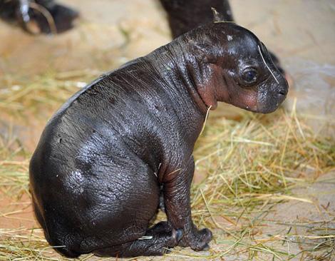 Miami-Zoo-Hippo4
