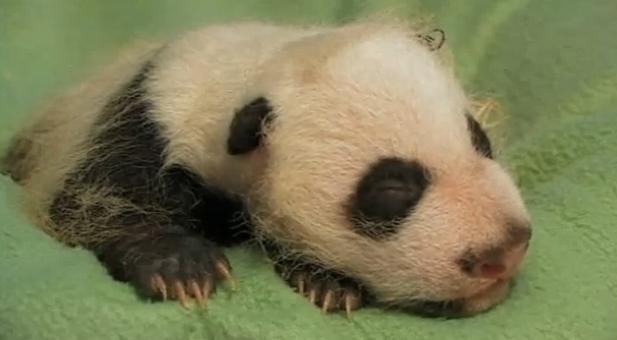 Baby panda cub zoo atlanta