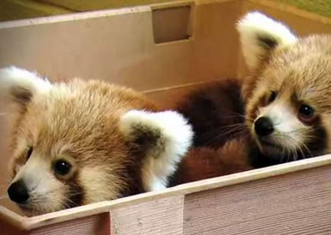 Firefox-cubs-mozilla-red-panda-1