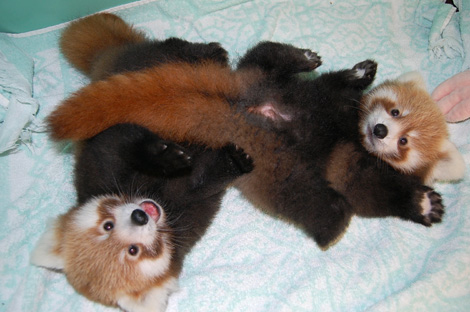 Firefox-cubs-mozilla-red-panda-3