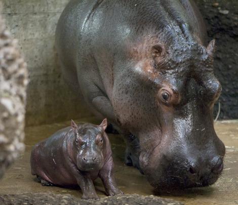 Baby hippo zoo basel 1