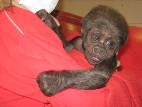 Baby gorilla zoo new england 1_picnik