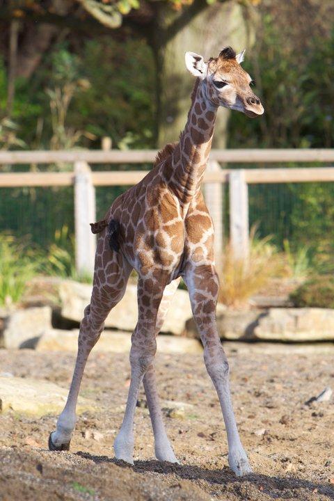 Dublin Zoo Giraffe Calf 2