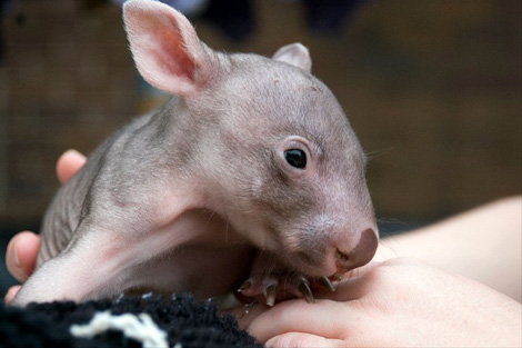 Orphaned-Wombat11