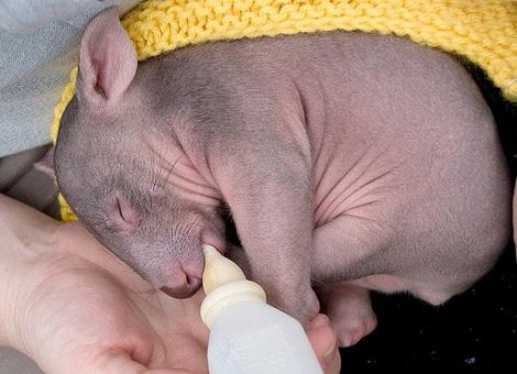 Orphaned-Wombat