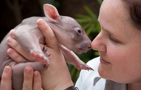 Orphaned-Wombat6