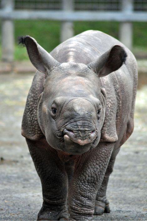 Baby rhino calf ZSL Whipsnade Zoo